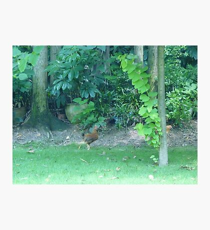 The Crazy Rooster sprint Photographic Print