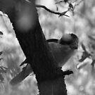 Kookaburra (B&W) by Chris Samuel