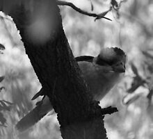Kookaburra (B&W) by Chris Samuel