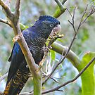 Red Tailed Black Cockatoo III by Tom Newman