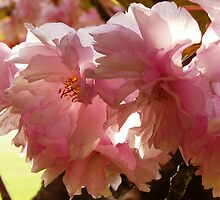 Pink shades by Adrian S. Lock
