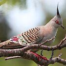 Top Notch Pigeon by bowenite
