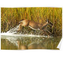 Deer Running Through the Marsh Poster