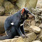 Tasmanian Devil #2 by Karen Stackpole