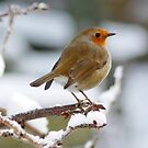 Red Robin in the Snow by AnnDixon