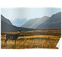 Wild Red Deer Grazing Poster