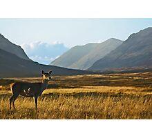 Wild Red Deer Grazing Photographic Print