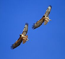 Red Tails Together in Flight by DARRIN ALDRIDGE