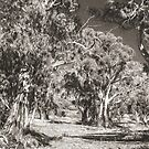 The Majesty of River Gums by Bette Devine