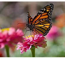 Backlit Monarch Butterfly on Flower Photographic Print