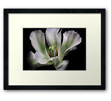 One Tulip... Framed Print