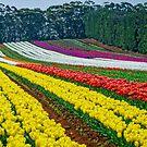 Table Cape Tulip Farm Field 2015, Tasmania, Australia by TonyCrehan