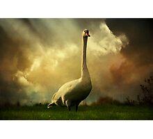 Swan Scene Photographic Print