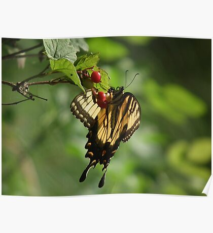 Yellow Swallowtail Butterfly and Berries Poster