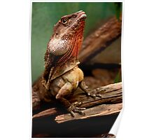 Frill necked lizard Poster