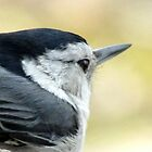 White-breasted Nuthatch (Sitta carolinensis) by Jean Gregory  Evans