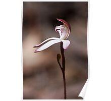 Musky Caladenia - Caladenia moschata Poster