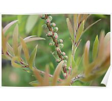 Bottlebrush Buds Poster