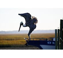 Pelican Diving for a Fish Photographic Print
