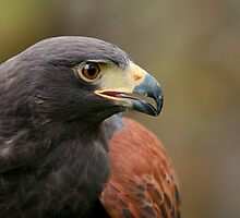 Male Harris's Hawk by (Tallow) Dave  Van de Laar