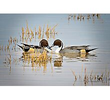 A Pair of Northern Pintail Ducks  Photographic Print