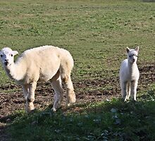 Alpaca, The Next Generation by Heather King