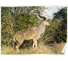 Kudu - Kruger National Park Poster