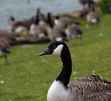 Goose by stay-focussed