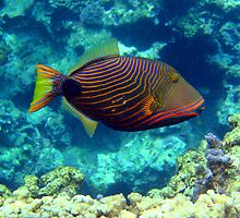 Trigger Fish by tracyleephoto