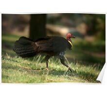 Brush Turkey Trot Poster