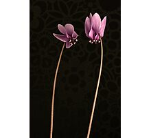 Cyclamens Photographic Print