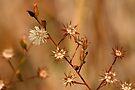 Marsh Stars by Eileen McVey