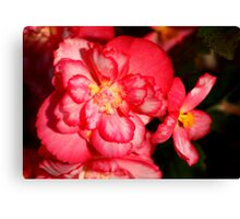 Red Begonia Flower #3 Canvas Print