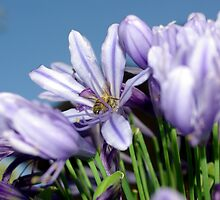 Bee Amongst the Agapanthus I by Andrejs Jaudzems