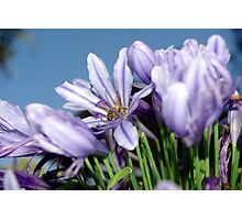 Bee Amongst the Agapanthus I Photographic Print