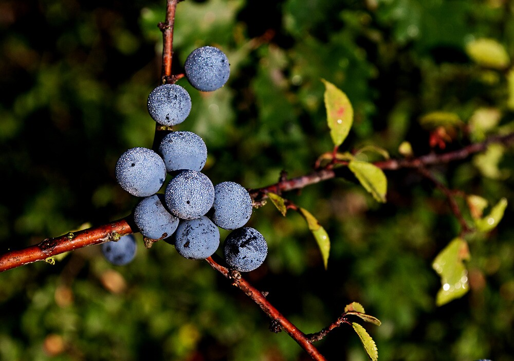 Dew drenched berries by Kate Fortune
