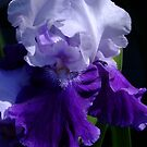 Mystique - Bearded Iris by Gabrielle  Lees
