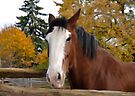 The Clydesdale by Elaine  Manley