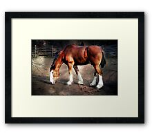 Young Clydesdale Framed Print