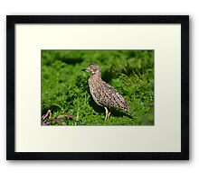 Spotted Thick-knee (Gewone Dikkop) Framed Print
