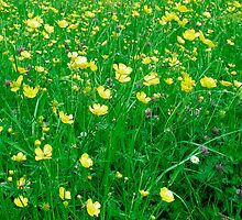Buttercup Meadow by Marta Perry