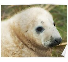 Donna Nook Seal Pup Poster