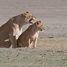 Lions in the Ngorogoro Crater by Raymond J Barlow