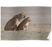 Lions in the Ngorogoro Crater Poster