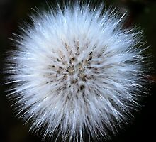 Glowing dandelion by Kate Fortune