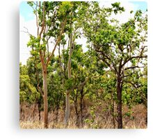 Eucalyptus Trees with Dry Grass Canvas Print