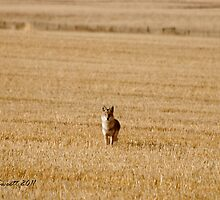 Interested Coyote by Trish Sweett