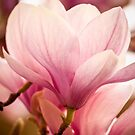 Magnolia by imagesbyjillian