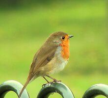 Robin by TracyD