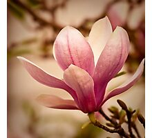Magnolia 3 Photographic Print